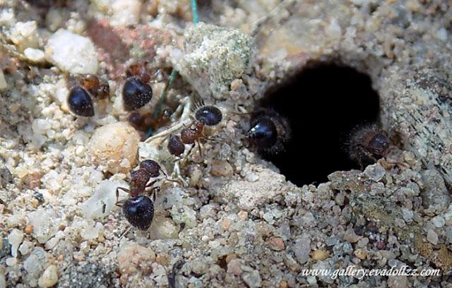 Semut Imut Turut Manggut