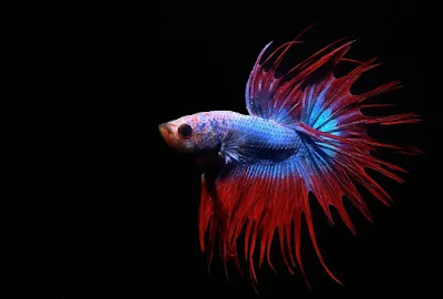 King Crowntail Betta Fish