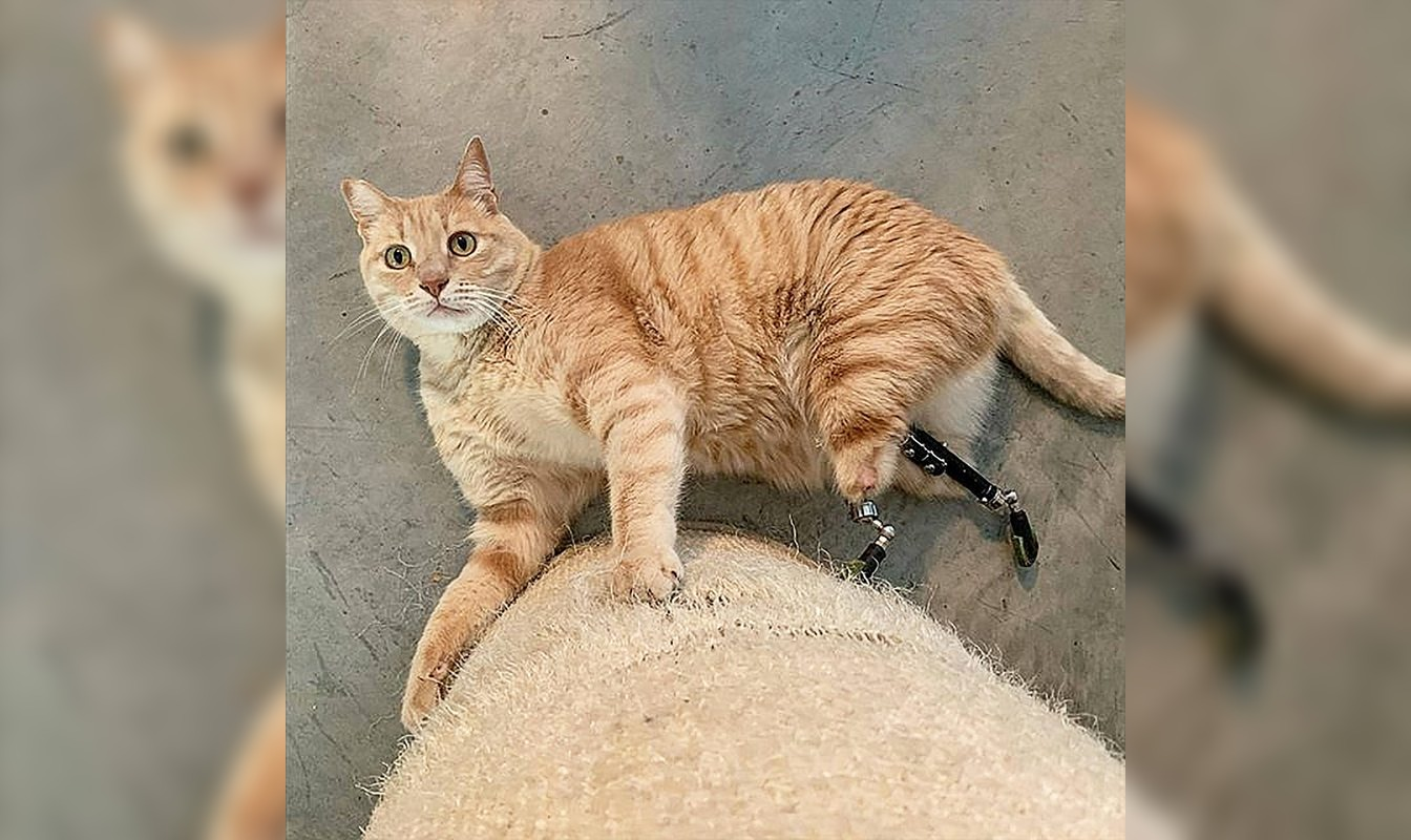 Veterinario italiano cuenta cómo instaló inédita prótesis intraósea a gato atropellado