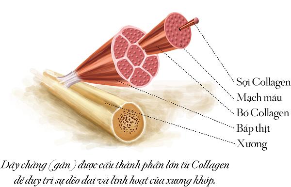 Viên uống collagen có giúp bạn trẻ lâu hơn?
