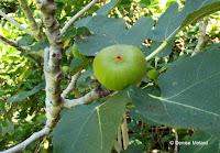 Common fig, Foster Botanical Garden - Honolulu, HI