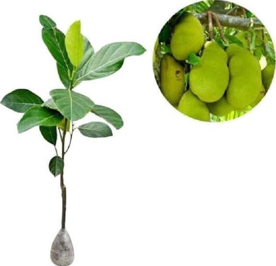Original Af Bibit Pohon Tanaman Buah Nangka Madu A1 Bima