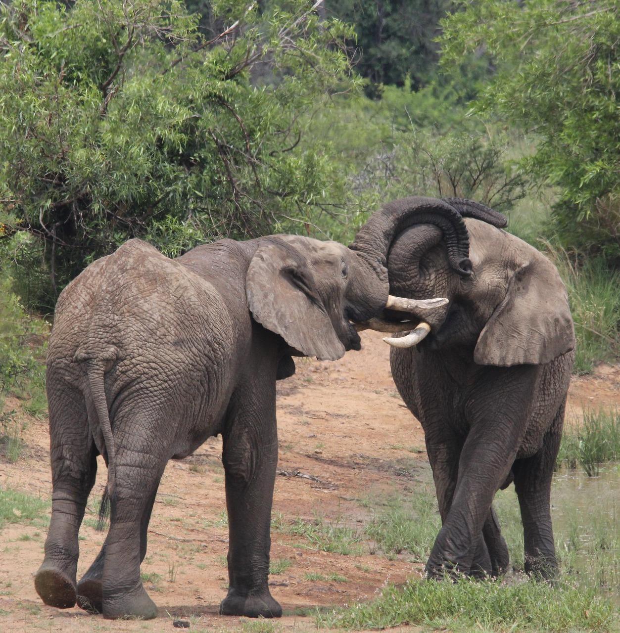 Elephant mating.