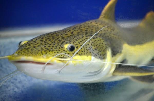 Jenis Ikan Lele yang Populer dan Banyak dikembangkan di Indonesia