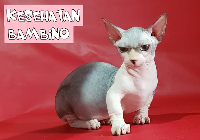 Kesehatan Kucing Bambino
