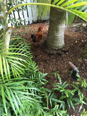 Roosters are in abundance throughout Key West