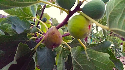 Naples Green Fig