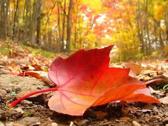 Các địa điểm ngắm lá phong đỏ đẹp ngỡ như ở trời Âu