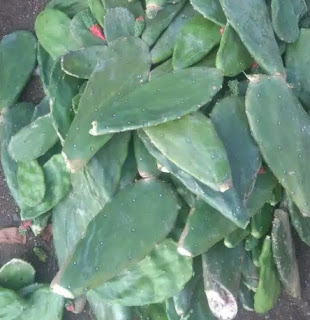 jual-kaktus-centong.jpg