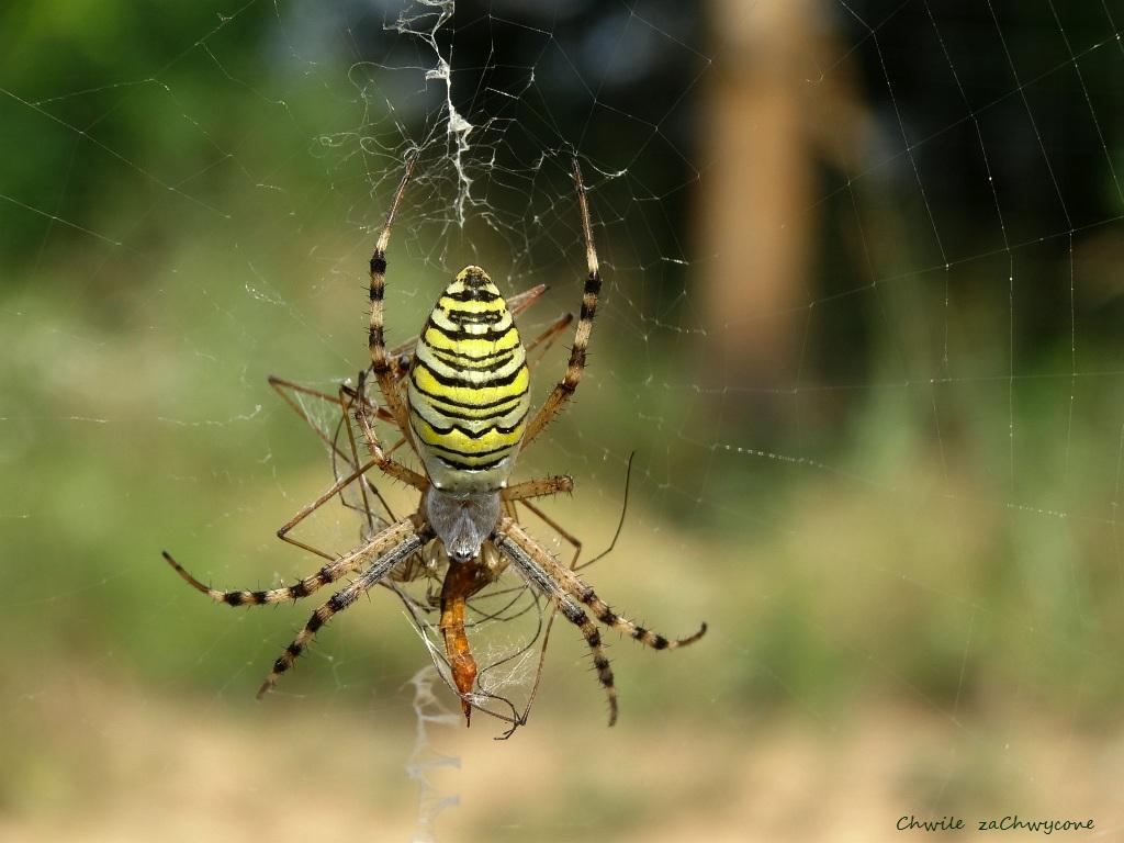tygrzyk, pająk w paski