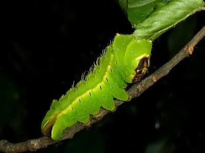 Antheraea jana caterpillar