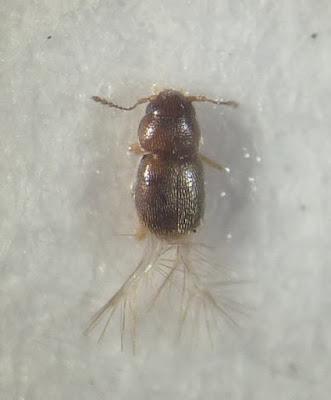 Ilustracja bardzo małe chrząszcza