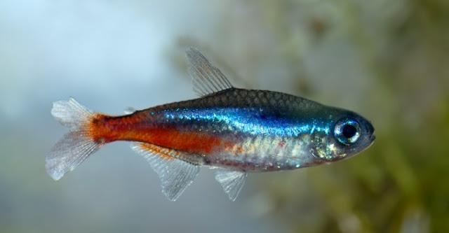 Dunia Ikan Hias - Neon Tetrajpg