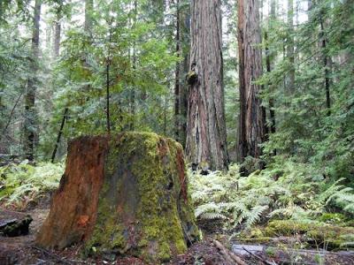 redwood tree, montgomery state park, spiritual student, spiritual teacher, spiritual nature,