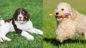Bernedoodle-and-Goldendoodle-Temperament