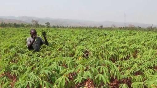 Nigerian farmers to obtain free advisory on cassava production via mobile phones