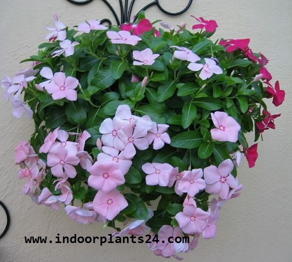 Catharanthus Roseus indoor house plant image