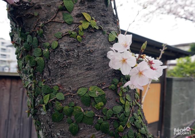 Sakura 2016, parc Nishi, Fukuoka