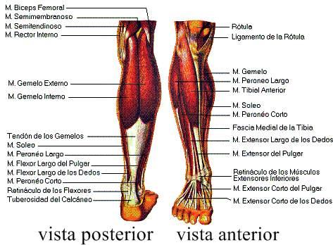 Sistema muscular esquelético humano pierna