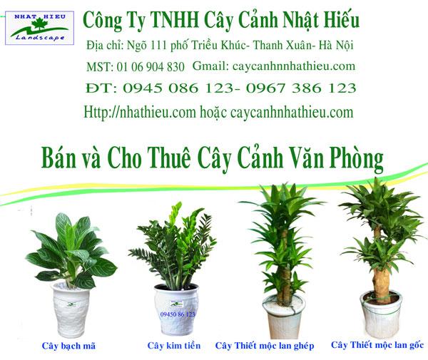 Bán cây cảnh văn phòng tại Hà Nội