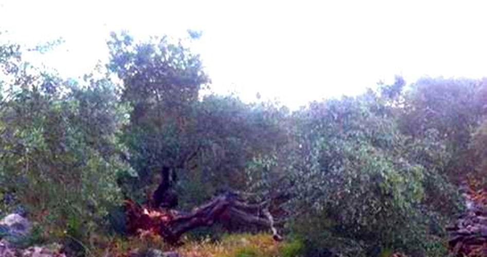 Keterlaluan, Israel Tebangi 1000 Pohon Zaitun Di Lembah Yordan Utara