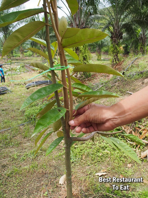 Durian Tree Grafting Durian Wonderland