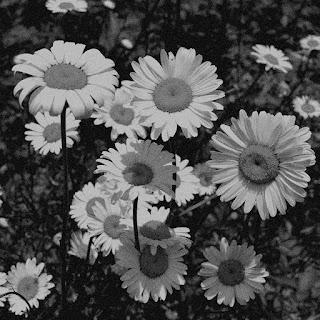 album cover - monochrome daisies