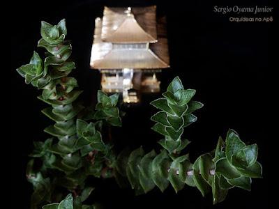 Suculenta Crassula 'Green Pagoda'