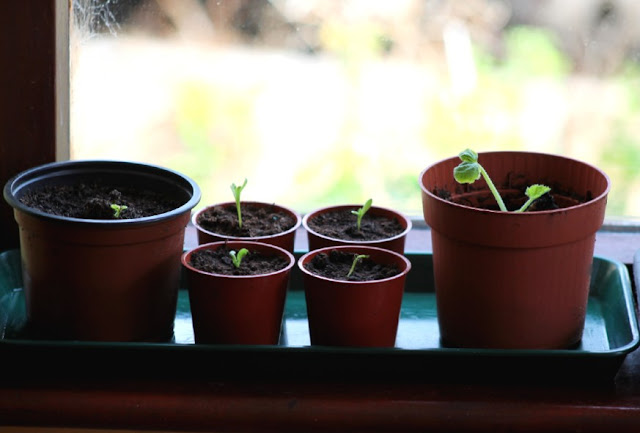 Various Windowsill Seedlings