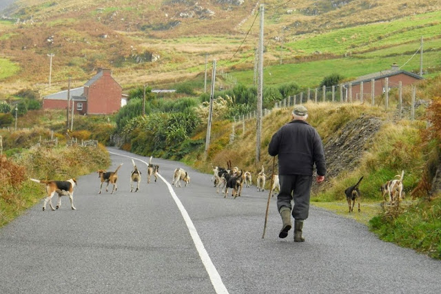 Ring of Kerry Route: Man walking dogs in the road