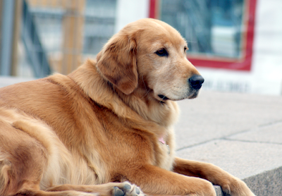 Golden Retriever Canadian Type