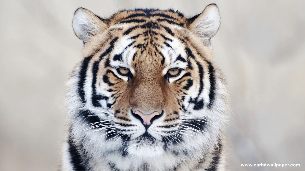 Tiger Hd Wallpapers: Black Tiger HD Wallpapers