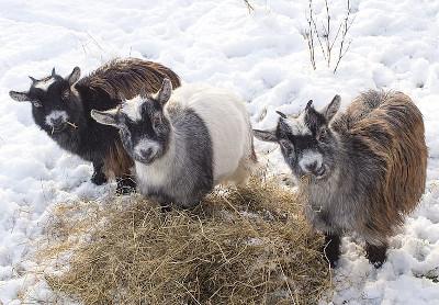Cabritas comiendo hierba en invierno.