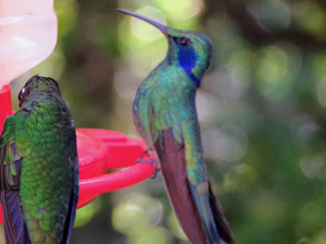 Costa Rica Itinerary: Hummingbird at a feeder