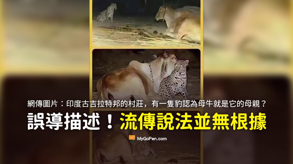 古吉拉特邦有一隻豹的母親是在牠年幼的時候被殺死的 從那以後母牛就負責給這隻幼豹餵奶 認為母牛就是它的母親