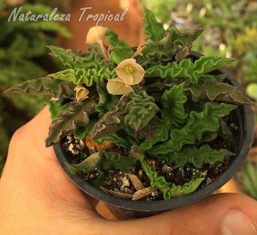 Planta suculenta Euphorbia decaryi en flor