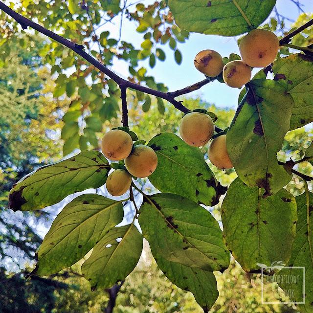 Hurma kaukaska uprawa, hebanek pospolity, hebanowiec, drzewa owocowe z Azji, opis, wymagania, pochodzenie, smak, kaki, persymona, date-plum, wygląd