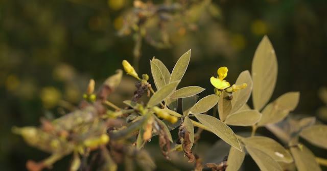 अरहर की खेती |Arhar ki kheti