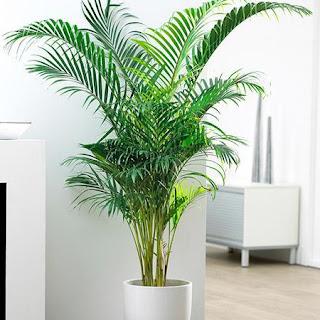 ereca palm