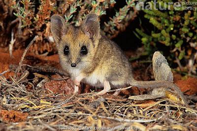 Ratón marsupial cola gruesa (Sminthopsis crassicaudata)