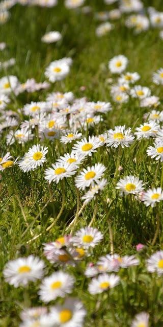 Những cánh hoa cúc họa mi trên đồng cỏ xanh