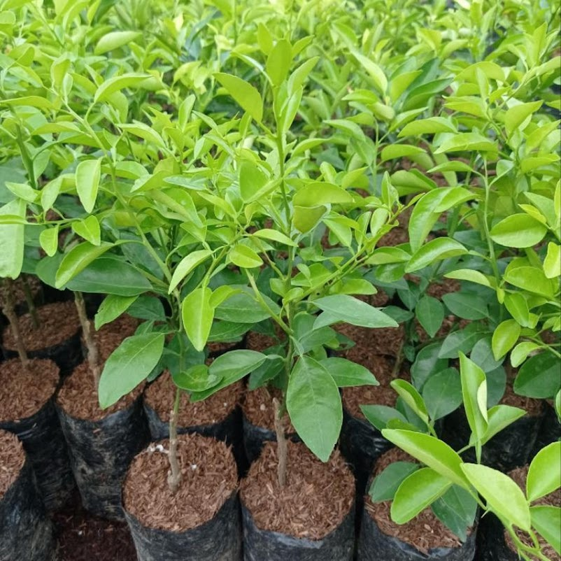 Pohon Jeruk Limo tanaman jeruk limo jeruk Limo Padang