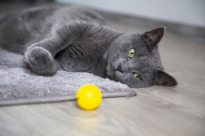 grey cat playing with yellow ball