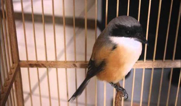 perilaku buruk burung cendet