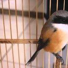 Cara Mengatasi Prilaku Buruk Dari Burung Cendet