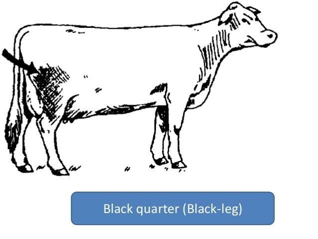 black quarter disease in Animals
