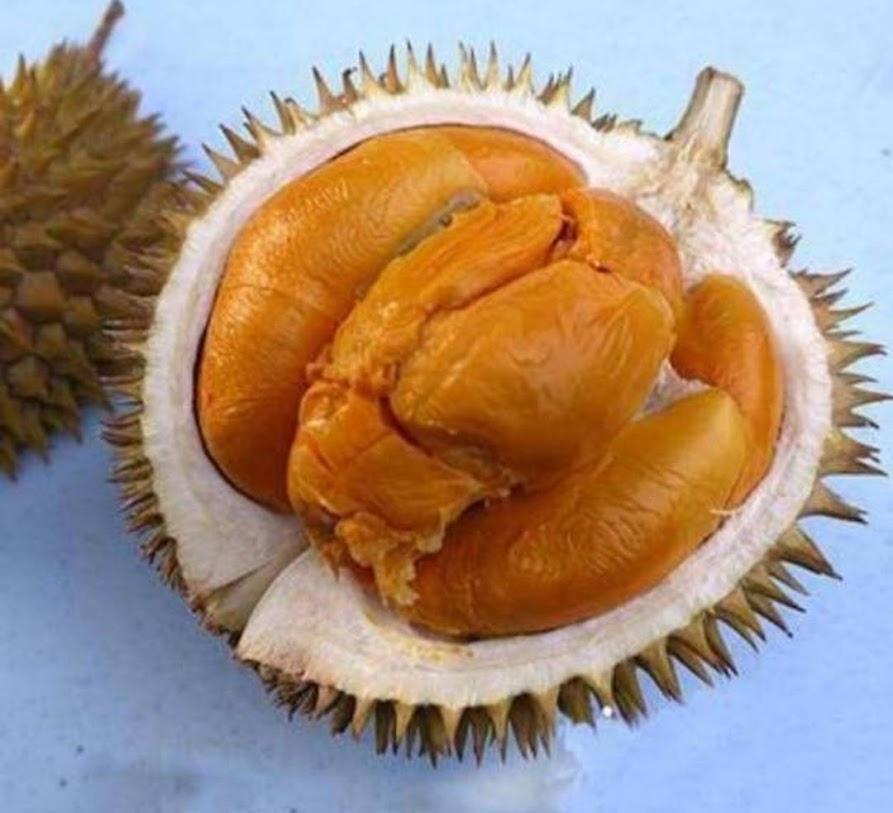 Bibit Durian Duri Hitam Super Real Tanaman Buah Durian Duri Hitam Durian Montong Musangking Bawor Jawa Tengah