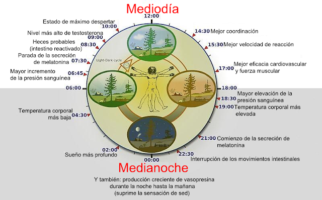 De Biological_clock_humanNycthéméralFrenchVersion.jpg: Lamiotderivative work: Ortisa - Este archivo deriva de  Biological clock humanNycthéméralFrenchVersion.jpg:, CC BY-SA 3.0, http://ift.tt/2las1Zr