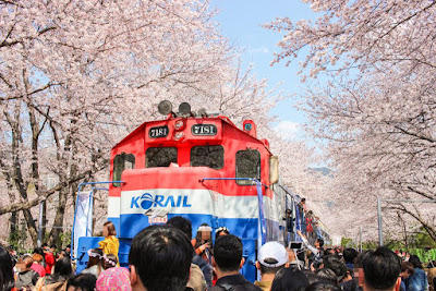 Jinhae Cherry Blossom Tunnel