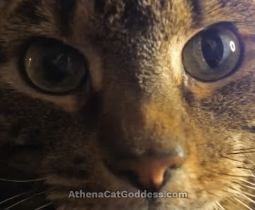 tabby cat close up